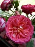 Rosa de rosas inglés (2) Imágenes de archivo libres de regalías