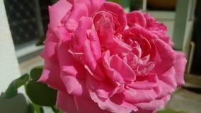 Rosa de Rose Imágenes de archivo libres de regalías