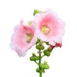 Rosa de Sharon Imagem de Stock