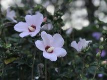 Rosa de Sharon branca floresce na flor completa foto de stock