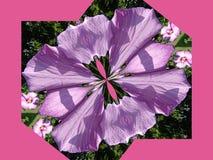 Rosa de Sharon distorceu Fotos de Stock