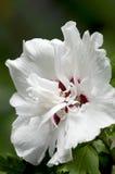 Rosa de Sharon - syriacus do hibiscus - estrela de manhã Fotografia de Stock Royalty Free