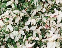 Rosa de struik van malvaceaebladeren van de sinensishibiscus in tuin Stock Afbeeldingen