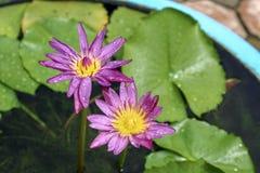 Rosa de Tailândia e lótus roxos imagens de stock royalty free