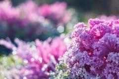 Rosa dekorativ växt Arkivbild
