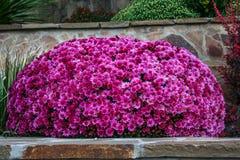 Rosa dekorativa blommor i parkera av sanatoriet Royaltyfria Foton