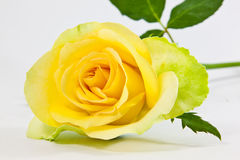 Rosa del amarillo Imágenes de archivo libres de regalías