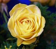 Rosa del amarillo Foto de archivo libre de regalías