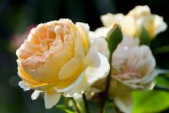 Rosa del amarillo Fotos de archivo libres de regalías