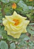 Rosa 12 del amarillo Imágenes de archivo libres de regalías