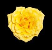 Rosa del amarillo aislada en fondo negro imagen de archivo