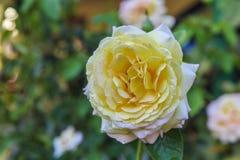 Rosa del amarillo con descensos de rocío en el jardín Fotos de archivo