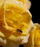 Rosa del amarillo con la abeja Imagen de archivo