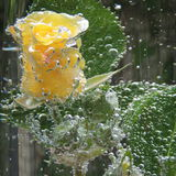 Rosa del amarillo con las burbujas del agua en un florero de vidrio Imagenes de archivo
