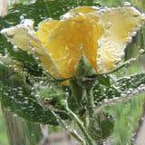 Rosa del amarillo con las burbujas del agua en un florero de vidrio Fotos de archivo