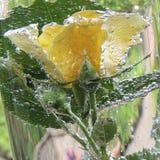 Rosa del amarillo con las burbujas del agua en un florero de vidrio Fotografía de archivo libre de regalías