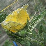 Rosa del amarillo con las burbujas del agua en un florero de vidrio Imagen de archivo libre de regalías