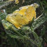 Rosa del amarillo con las burbujas del agua en un florero de vidrio Foto de archivo libre de regalías