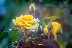 Rosa del amarillo con los brotes y descensos de rocío por la mañana en un b borroso imagenes de archivo