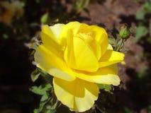 Rosa del amarillo con un brote Fotografía de archivo libre de regalías