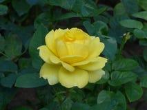 Rosa del amarillo de Blossming en el jardín foto de archivo