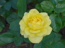 Rosa del amarillo de Blossming en el jardín imagen de archivo