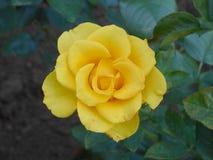 Rosa del amarillo de Blossming en el jardín imagenes de archivo
