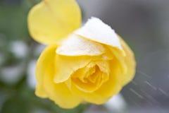 Rosa del amarillo de China en la nieve blanca Fotografía de archivo