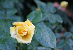Rosa del amarillo en el jardín imagenes de archivo