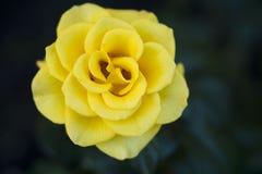 Rosa del amarillo en el jardín Foto de archivo libre de regalías