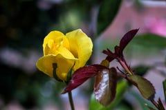 Rosa del amarillo en luz del sol fotografía de archivo libre de regalías
