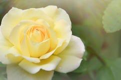 Rosa del amarillo en sol fotografía de archivo