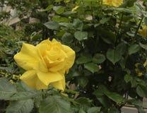 Rosa del amarillo en un suburbio de Londres fotografía de archivo libre de regalías