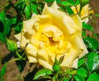 Rosa del amarillo, flora Fotos de archivo