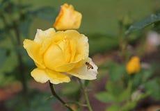 Rosa del amarillo y una abeja Foto de archivo libre de regalías