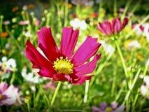 Rosa del bipinnatus del cosmos Fotografía de archivo