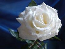 Rosa del blanco Fotos de archivo libres de regalías