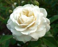 Rosa del blanco Imágenes de archivo libres de regalías