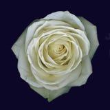 Rosa del blanco Foto de archivo libre de regalías