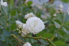 Rosa del blanco con las hojas Imágenes de archivo libres de regalías