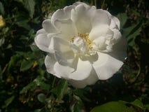 Rosa del blanco con los pétalos grandes y los estambres amarillos Fotos de archivo libres de regalías