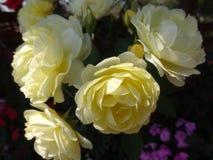 Rosa del blanco de Julia Child en el jardín Foto de la flor fotografía de archivo