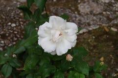 Rosa del blanco de la flor Imagen de archivo libre de regalías