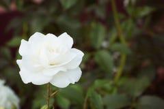 Rosa del blanco en el fondo de verdes Foco selectivo, imagen entonada, efecto de la película Fotos de archivo