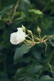 Rosa del blanco en el fondo de verdes Foco selectivo, imagen entonada, efecto de la película, macro Fotos de archivo libres de regalías