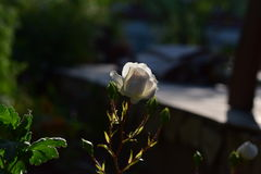 Rosa del blanco en el jardín Fotografía de archivo libre de regalías