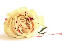 Rosa del blanco en sangre Fotos de archivo libres de regalías