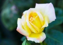 Rosa del blanco en un arbusto Fotos de archivo libres de regalías