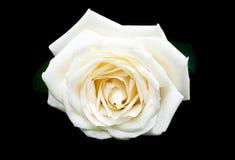 Rosa del blanco en un fondo negro Imágenes de archivo libres de regalías