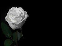 Rosa del blanco en un fondo negro Fotografía de archivo